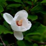 大峰の名花